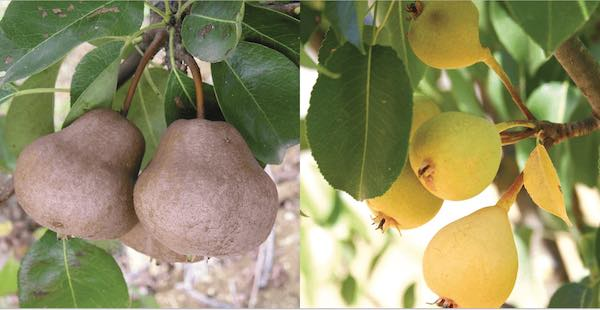 Il Comune mette a dimora oltre trenta alberi da frutto di varietà autoctone