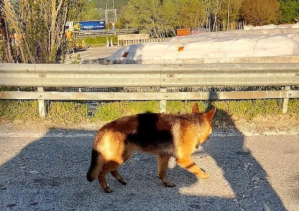 Rocambolesco intervento sull'A1, recuperati due pastori tedeschi