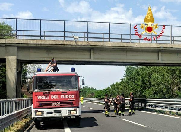Capretto sul cavalcavia dell'A1, recuperato e messo in salvo