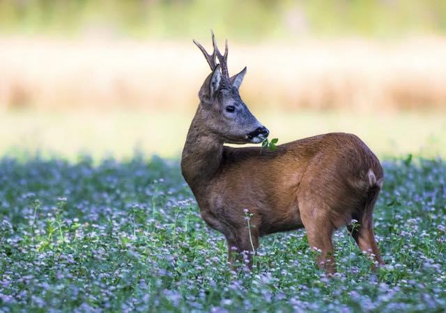 Approvato il Calendario Venatorio 2018/2019. Si inizia domenica con la caccia di selezione al capriolo