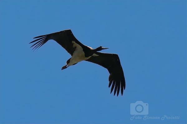 Una rarissima cicogna nera sorvola il cielo dell'Oasi WWF Lago di Alviano