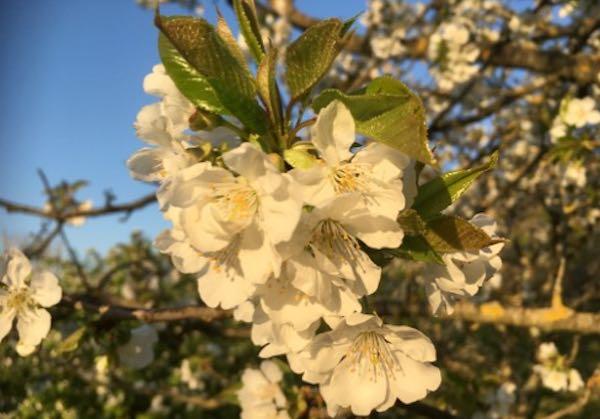 """""""Rifioriamo"""" tra i ciliegi. Dalla zona rossa, """"Il Grande Racconto del Prunus Avium"""""""