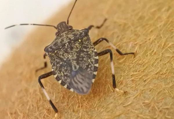 """Cimice asiatica nel Viterbese. Battistoni: """"Il Governo attivi la sperimentazione della vespa samurai"""""""