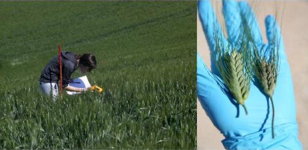 Unitus, dal Dafne la cura per ridurre le perdite di grano