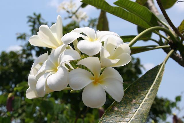 Fiori, i candidi fiori