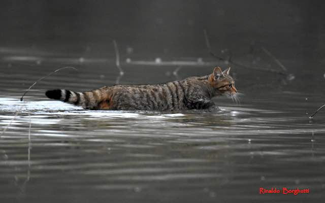 Avvistato un gatto selvatico all'Oasi di Alviano