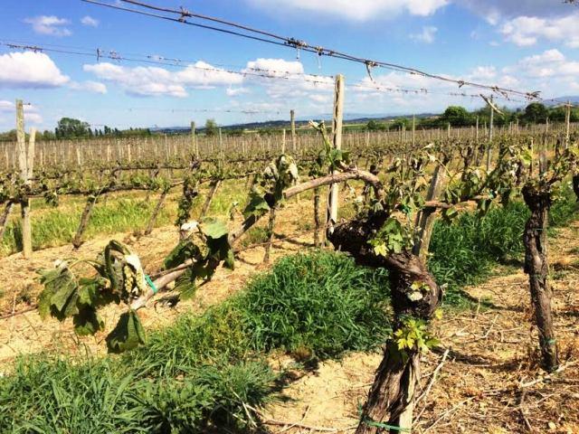 Le gelate di primavera mettono a rischio la produzione del vino