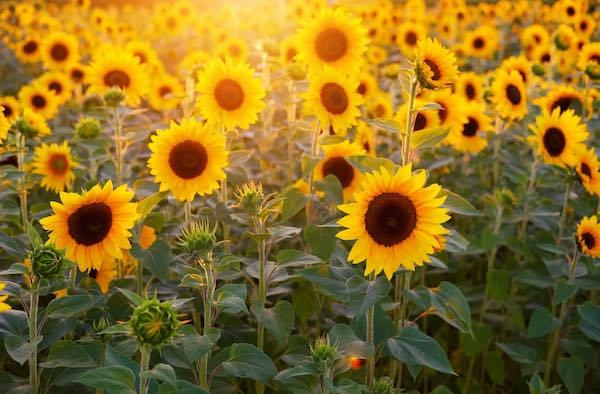 """""""Tuscia Flower"""". Apre il primo Parco di Girasoli Ornamentali """"prendi e raccogli"""""""