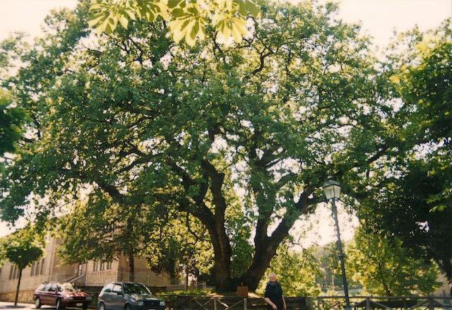 La quercia secolare di Monteleone. Il ricordo a venti anni dalla caduta