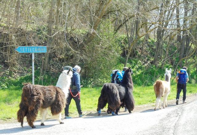 Da Bolzano a Roma con tre lama, tappa anche a Porano [PhotoGallery]