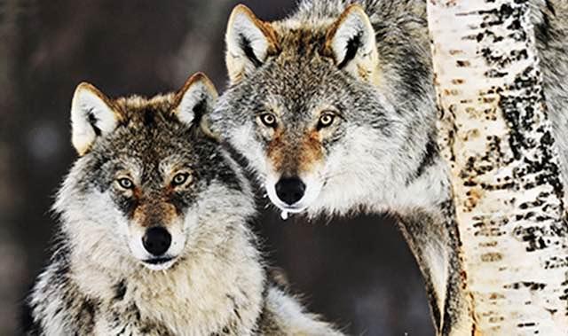 """""""Nessuno tocchi i lupi"""". Più di 3500 firme per la petizione per salvare lupi e cani randagi"""