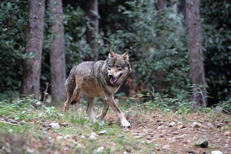 Lupi e animali selvatici mettono a rischio le aziende agricole, è allarme per i danni
