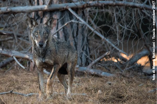 """""""In bocca al lupo"""". La sua diffusione tra problemi di conservazione e luoghi comuni"""