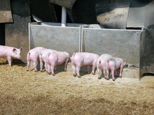 Ordinanza sulla macellazione di animali per uso alimentare