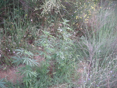 Coltivava piante di marijuana, denunciato dai Carabinieri di Montegabbione