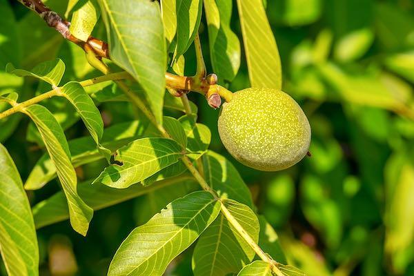 """Nel """"Giardino dei Frutti Ritrovati"""" si mettono a dimora alberi di noci"""