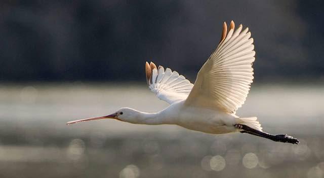 La Spatola 342 torna con gli amici all'Oasi WWF del Lago di Alviano