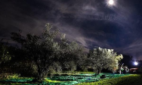 In onda gli uliveti della Tuscia, tornati in produzione con la raccolta notturna
