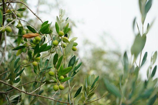 Riserva del Monte Peglia e Confagricoltura insieme per la tracciabilità delle olive