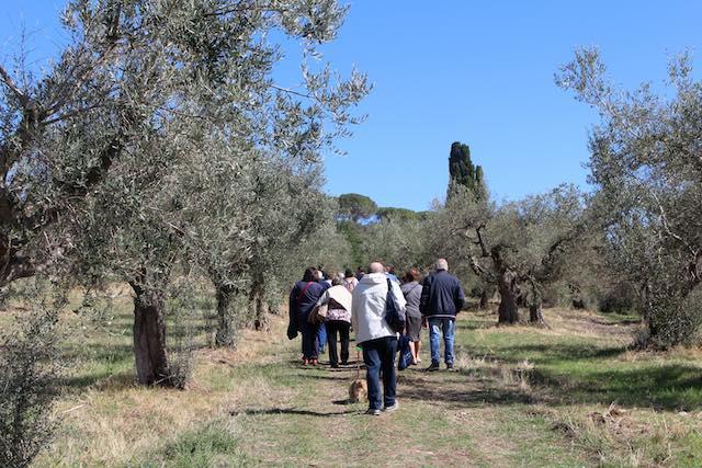 """Torna la """"Camminata tra gli Olivi"""". Itinerari nel paesaggio verde"""