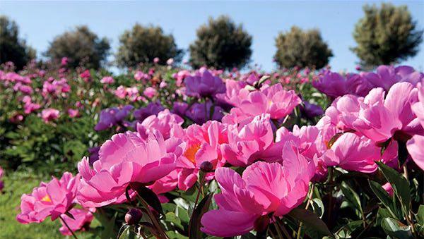 """Al Centro Botanico """"Moutan"""" la fioritura delle peonie erbacee dà spettacolo"""