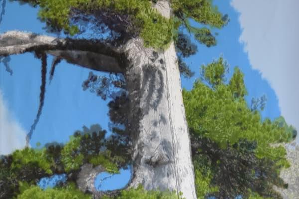 Il pino più antico d'Europa diventa un'opera d'arte