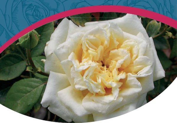 """""""Rosa, regina dei fiori"""". Un anno di iniziative per ridare all'Orto un nuovo Roseto"""