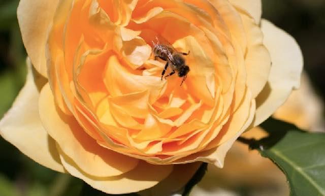 """""""Le rose: varietà e colori per il nostro giardino"""". Via alla quarta edizione"""