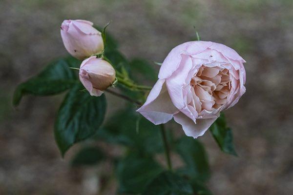 Rose fuggite