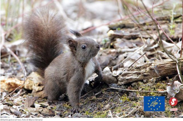 Il ritorno dello scoiattolo rosso. In aumento il numero di esemplari in Umbria