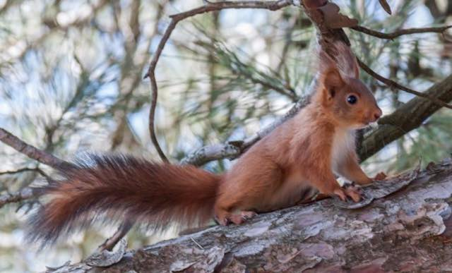 Festa dell'Albero 2017, oltre cento nuove piantumazioni per favorire il ritorno dello scoiattolo rosso