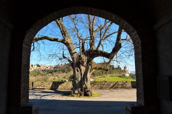 """Interventi al Tiglio di Montesanto, il """"gigante verde"""" ora è al sicuro"""