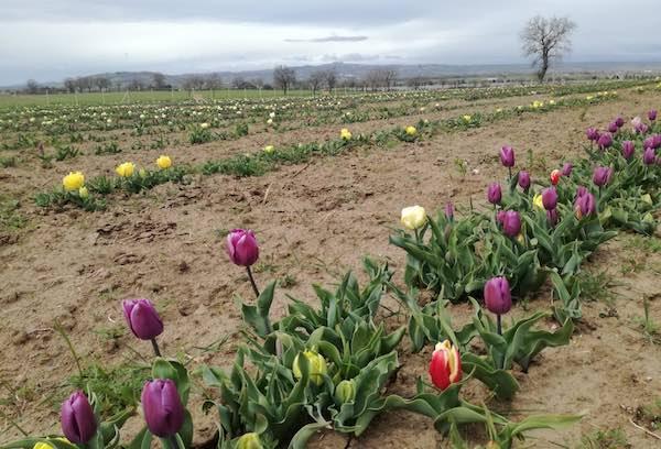 """""""Tuscia Flower"""", slitta l'apertura del grande parco con 300.000 tulipani"""