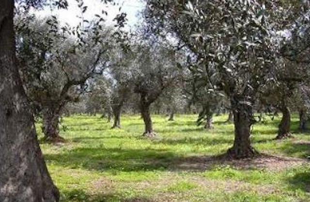 """""""L'Umbria si rimette in moto"""", Lugnano in Teverina consegna ulivi collezione mondiale"""