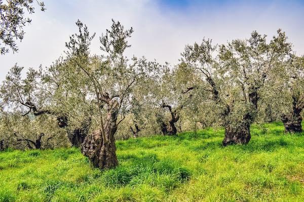 Trekking tra gli ulivi, fino alle degustazioni in frantoio