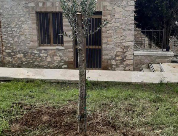 Per la Festa dell'Albero i più giovani mettono a dimora un ulivo