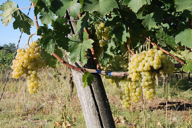 I Nocchianelli, antichi vitigni autoctoni, inseriti nel registro nazionale delle varietà