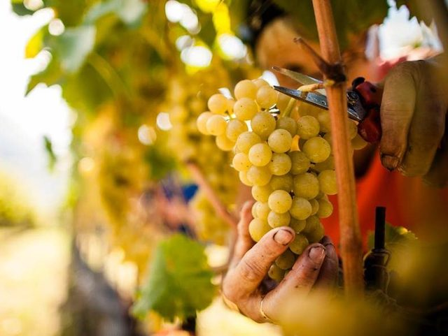 "Battistoni (FI): ""Introdurre voucher, a rischio la vendemmia 2020"""