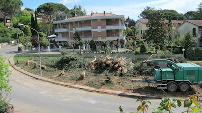 A Ciconia pini tagliati in via degli Ulivi. Saranno sostituiti
