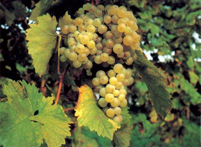 Montegabbione in prima linea per la riscoperta dei vitigni autoctoni